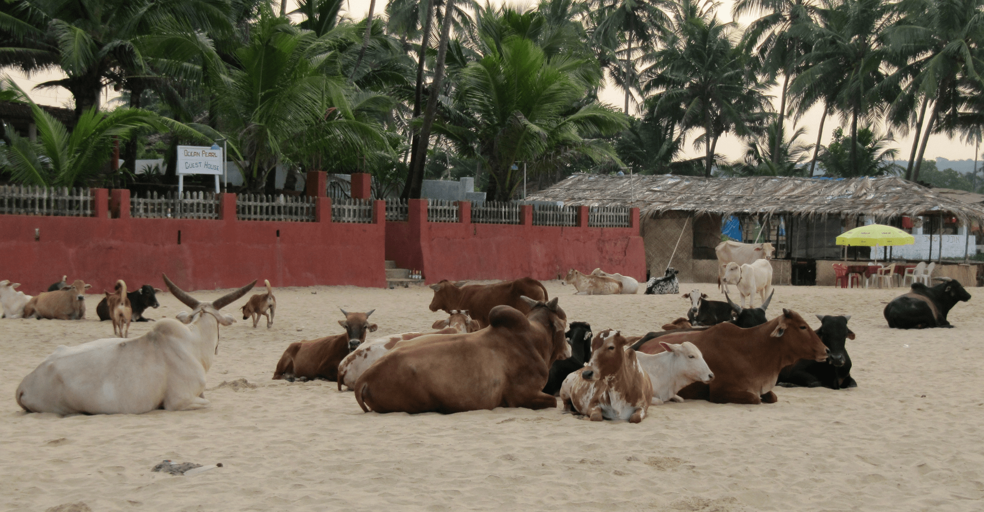 Ahimsa Trail - cows goa beach