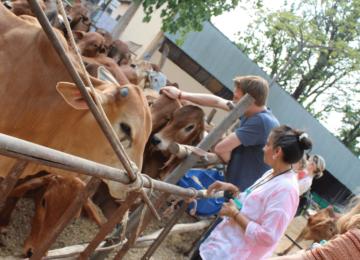 Petting bulls and cows at a Gaushala